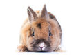 Rabbit white background looking ahead breed dwarf Stock Images