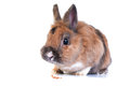 Rabbit white background looking ahead breed dwarf Royalty Free Stock Images