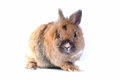 Rabbit white background looking ahead breed dwarf Royalty Free Stock Image