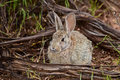 Rabbit in the wilds Royalty Free Stock Photo