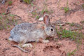 Rabbit in the wilds in Utah Royalty Free Stock Photo