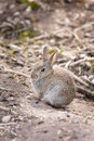 Rabbit young wild common oryctolagus cuniculus sits in the open at a warren in england Royalty Free Stock Photos