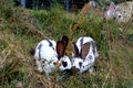 Rabbits couple of in the green grass Royalty Free Stock Photography