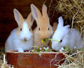 Rabbits eating in their hutch Stock Photography