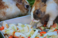 Rabbits eating veggies two chopped vegetables Royalty Free Stock Photo