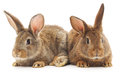 Rabbits two brown bunny on white background Royalty Free Stock Image