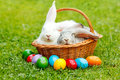 Rabbits in wicker basket with colorful easter eggs white and gray rabbit green grass along Royalty Free Stock Images