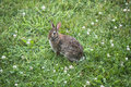 Rabbitt wild grey rabbit sitting on the lawn Royalty Free Stock Images