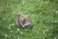 Rabbitt wild grey rabbit sitting on the lawn Stock Photos