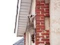 Rabid Raccoon in the attic Royalty Free Stock Photo