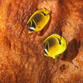 The raccoon butterflyfish Royalty Free Stock Images