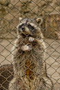 Raccoon in captivity a sad lonely a cage at the zoo Stock Photography