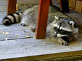 Raccoon - City Bandit Royalty Free Stock Photo