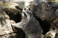 Raccoon climbing out hollow tree trunk Royalty Free Stock Photo