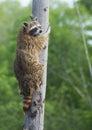 Raccoon climbing a tree closeup. Royalty Free Stock Photo