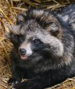 Racoon dog resting in hay bed in zoo cage. Royalty Free Stock Photo