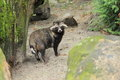 Raccoon dog the gazing adult of Royalty Free Stock Photos