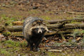 Raccoon Dog (Nyctereutes procyonoides) Royalty Free Stock Image
