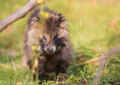 Raccoon dog the nyctereutes procyonoides is an invasive species to east europe here in lithuania it originates from asia and is Stock Photos