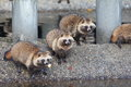 Raccoon dog nyctereutes procyonoides in japan Royalty Free Stock Image