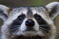 Raccoon eyes Royalty Free Stock Photo