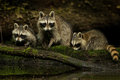 Raccoon Family Royalty Free Stock Photo