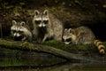 Raccoon Family Royalty Free Stock Photo