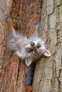 Raccoon fast asleep hanging outside of a tree Stock Images