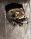 Raccoon in a hollow tree sits Royalty Free Stock Photo