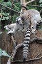 Raccoon north american mammal native Stock Images
