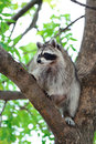 Raccoon in park in montreal canada Royalty Free Stock Image
