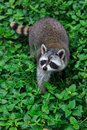 The raccoon play in the grass background Royalty Free Stock Image