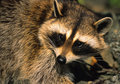 Raccoon Portrait Stock Photography
