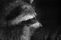 Raccoon portrait Royalty Free Stock Photo