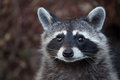 Raccoon Procyon lotor Royalty Free Stock Photo