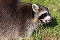 Raccoon / Procyon lotor baring it`s teeth Royalty Free Stock Photo