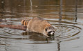 Raccoon procyon lotor cautiously climbs off log into water captive animal Stock Image