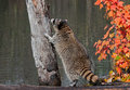 Raccoon procyon lotor contemplates climbing tree captive animal Stock Photo