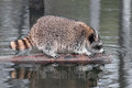 Raccoon procyon lotor crawls along log captive animal Royalty Free Stock Photos