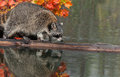 Raccoon procyon lotor crawls along log captive animal Stock Photos