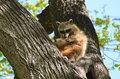 Raccoon a procyon lotor grooming itself in a tree Stock Image