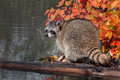 Raccoon procyon lotor looks back captive animal Stock Photography