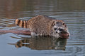 Raccoon procyon lotor looks back from end of log captive animal Stock Photography