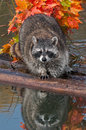 Raccoon procyon lotor looks directly at viewer captive animal Royalty Free Stock Images
