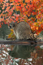 Raccoon procyon lotor looks left on log in water captive animal Royalty Free Stock Photography