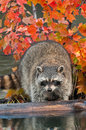 Raccoon procyon lotor looks off log captive animal Stock Images