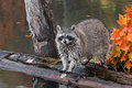 Raccoon procyon lotor looks out at viewer captive animal Royalty Free Stock Images