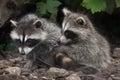 Raccoon Procyon lotor Royalty Free Stock Photo