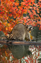 Raccoon procyon lotor open mouth on log in water captive animal Stock Image