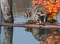 Raccoon procyon lotor with reflection looking left captive animal Royalty Free Stock Photo
